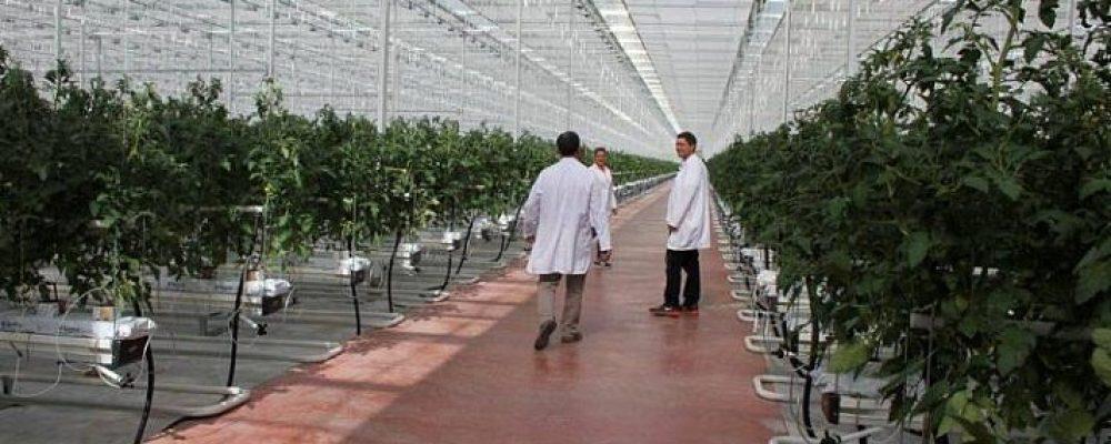 В Пицунде погибло 5 гектаров томатов